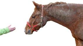 Λασπώδες άλογο και ανθρώπινο χέρι που απομονώνονται στο άσπρο υπόβαθρο Στοκ Φωτογραφία