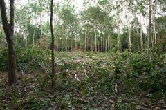 Λαστιχένια δέντρα που καταρρίπτονται. Στοκ Εικόνες