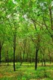 Λαστιχένια δέντρα του χωρικού Στοκ εικόνα με δικαίωμα ελεύθερης χρήσης