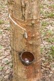Λαστιχένια δέντρα. Στοκ Φωτογραφία