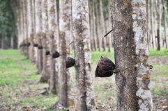Λαστιχένια γραμμή φλυτζανιών δέντρων Στοκ φωτογραφίες με δικαίωμα ελεύθερης χρήσης