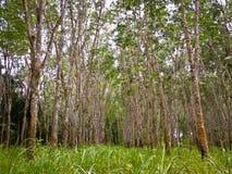 λαστιχένια δέντρα στοκ φωτογραφίες με δικαίωμα ελεύθερης χρήσης