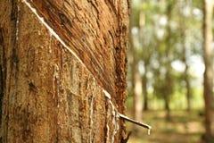 λαστιχένια δέντρα Στοκ Φωτογραφία