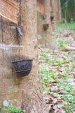 Λαστιχένια δέντρα. Στοκ εικόνες με δικαίωμα ελεύθερης χρήσης
