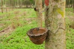 Λαστιχένια δέντρα. Στοκ φωτογραφία με δικαίωμα ελεύθερης χρήσης