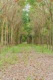 Λαστιχένια δέντρα. Στοκ εικόνα με δικαίωμα ελεύθερης χρήσης