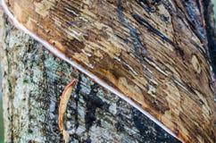 Λαστιχένιο δέντρο Στοκ εικόνες με δικαίωμα ελεύθερης χρήσης