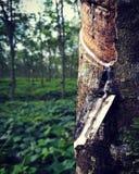 λαστιχένιο δέντρο παραγωγών λατέξ στοκ φωτογραφίες