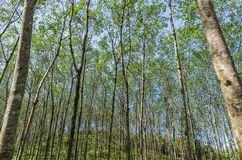 λαστιχένιο δέντρο φυτειών Στοκ φωτογραφία με δικαίωμα ελεύθερης χρήσης