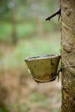 Λαστιχένιο δέντρο Στοκ Φωτογραφία