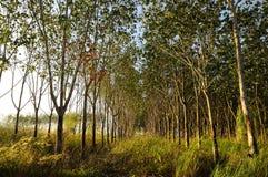 λαστιχένιο δέντρο Στοκ Εικόνες