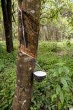Λαστιχένιο τρυπώντας δέντρο Στοκ Φωτογραφίες