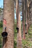 Λαστιχένιο trees Στοκ Εικόνες