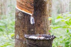 Λατέξ ή γάλα φυσικού λάστιχου που στάζει από το λαστιχένιο δέντρο στο κύπελλο στο θολωμένο λαστιχένιο κήπο Στοκ φωτογραφίες με δικαίωμα ελεύθερης χρήσης