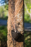 Λατέξ από το λαστιχένιο δέντρο στοκ εικόνες με δικαίωμα ελεύθερης χρήσης