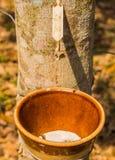 Λατέξ του λάστιχου παραγράφου από το brasiliensis λαστιχένιων δέντρων ή Hevea Στοκ φωτογραφία με δικαίωμα ελεύθερης χρήσης