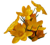 Λατινικός κρόκος κρόκων, ή σαφράνι, κίτρινο Στοκ εικόνα με δικαίωμα ελεύθερης χρήσης