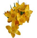 Λατινικός κρόκος κρόκων, ή σαφράνι, κίτρινο Στοκ φωτογραφία με δικαίωμα ελεύθερης χρήσης