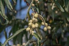 Λατινικό angustifolia Elaegnus angustifolia λιμνών Στοκ Φωτογραφία