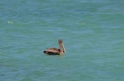 Λατρευτά πτηνά νερού που επιπλέουν στον ωκεανό Στοκ εικόνες με δικαίωμα ελεύθερης χρήσης