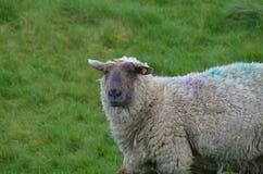 Λατρευτά συγκεχυμένα πρόβατα σε έναν τομέα Ιρλανδία Στοκ εικόνα με δικαίωμα ελεύθερης χρήσης