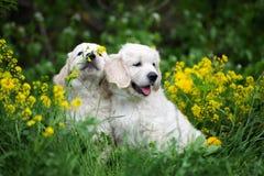 Λατρευτά χρυσά retriever κουτάβια υπαίθρια το καλοκαίρι Στοκ Εικόνες