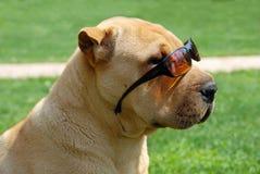 λατρευτά shar γυαλιά ηλίου pei στοκ εικόνα με δικαίωμα ελεύθερης χρήσης