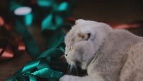 Λατρευτές σκωτσέζικες γκρίζου πτυχές παιχνιδιού γατών με την κορδέλλα χρώματος, εσωτερική αγάπη κατοικίδιων ζώων απόθεμα βίντεο