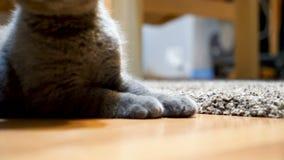 Λατρευτές σκωτσέζικες πτυχές παιχνιδιού γατακιών με μια σφαίρα απόθεμα βίντεο
