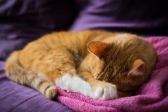 Λατρευτή γάτα πιπεροριζών ύπνου Στοκ Εικόνα