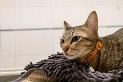 Λατρευτή γάτα που βρίσκεται στον γκρίζο τάπητα Καλά χαριτωμένα γατάκια στο σπίτι στοκ εικόνα