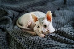 Λατρευτή γάτα Sphynx που έχει το υπόλοιπο στοκ εικόνα με δικαίωμα ελεύθερης χρήσης