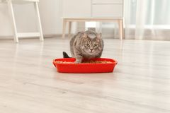Λατρευτή γκρίζα γάτα κοντά στο κιβώτιο απορριμάτων στο εσωτερικό στοκ εικόνα