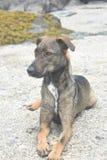 Λατρευτή σκοτεινή καφετιά στήριξη σκυλιών cunucu του Aruba Στοκ φωτογραφία με δικαίωμα ελεύθερης χρήσης