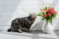 λατρευτή σκωτσέζικη ευθεία γάτα που ρουθουνίζει την όμορφη ανθοδέσμη στοκ εικόνα