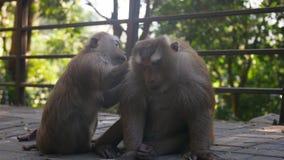 Λατρευτή συνεδρίαση macaque δύο μαζί στο τροπικό δάσος λόφος πιθήκων της Ασίας, Ταϊλάνδη Phuket φιλμ μικρού μήκους