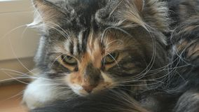 Λατρευτή χνουδωτή γάτα που εξετάζει τη κάμερα φιλμ μικρού μήκους