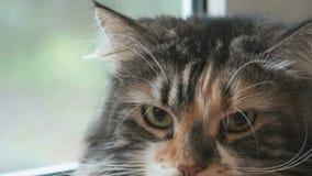 Λατρευτή χνουδωτή γάτα που εξετάζει τη κάμερα απόθεμα βίντεο