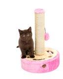 Λατρευτοί Βρετανοί λίγη τοποθέτηση γατακιών Στοκ εικόνα με δικαίωμα ελεύθερης χρήσης