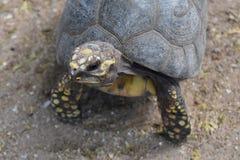 Λατρευτός λίγη χελώνα που στέκεται στην άμμο Στοκ φωτογραφία με δικαίωμα ελεύθερης χρήσης