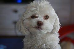 Λατρευτό άσπρο χνουδωτό Poodle σκυλί Smirking Bichon Frise στοκ εικόνα