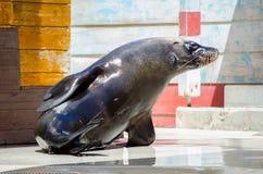 Λατρευτό αυστραλιανό Sea-lion παρουσιάζει χαριτωμένη στιγμή σε έναν ζωολογικό κήπο στοκ φωτογραφίες με δικαίωμα ελεύθερης χρήσης