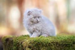Λατρευτό βρετανικό μακρυμάλλες γατάκι υπαίθρια Στοκ Εικόνα