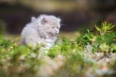Λατρευτό βρετανικό μακρυμάλλες γατάκι υπαίθρια Στοκ Εικόνες