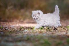 Λατρευτό βρετανικό μακρυμάλλες γατάκι υπαίθρια Στοκ Φωτογραφίες