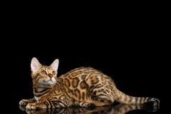 Λατρευτό γατάκι της Βεγγάλης φυλής που απομονώνεται στο μαύρο υπόβαθρο Στοκ Φωτογραφία