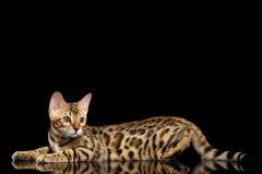 Λατρευτό γατάκι της Βεγγάλης φυλής που απομονώνεται στο μαύρο υπόβαθρο Στοκ Εικόνα