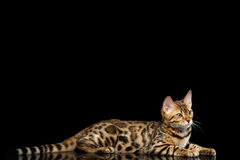 Λατρευτό γατάκι της Βεγγάλης φυλής στο μαύρο υπόβαθρο Στοκ Φωτογραφίες