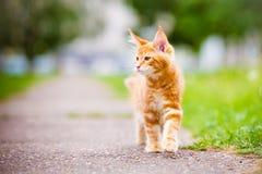 Λατρευτό γατάκι του Maine coon υπαίθρια Στοκ Φωτογραφία