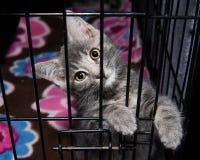 Λατρευτό γκρίζο γατάκι καταφυγίων στο κλουβί Στοκ Εικόνες